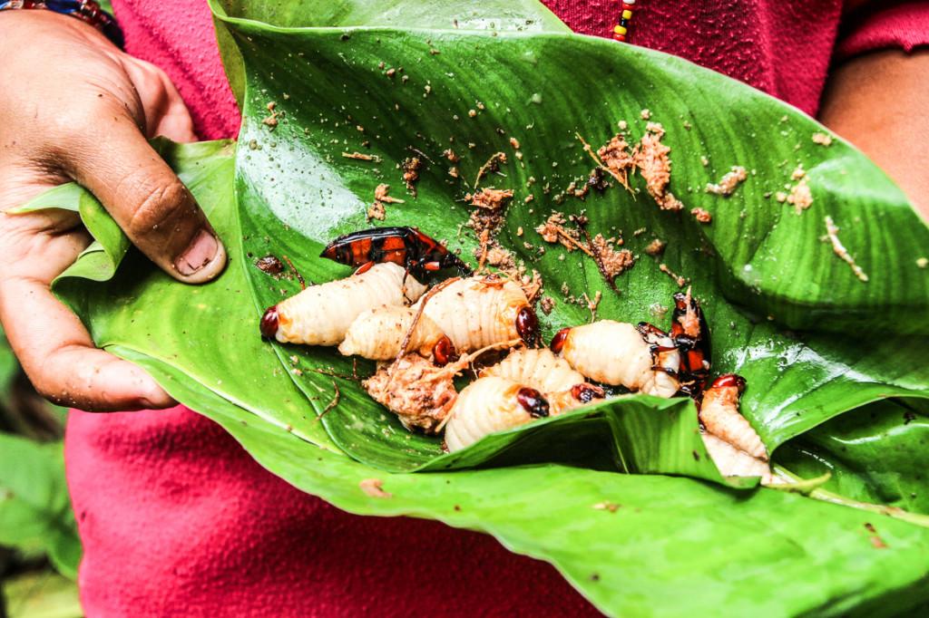 Sago-ličinke-Siberut(Indonezija)