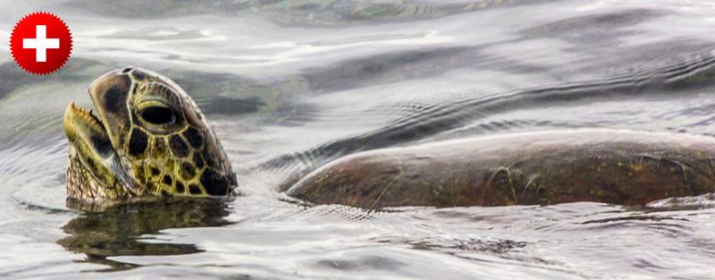 Ena izmed mnogih želv na otoku Apo.