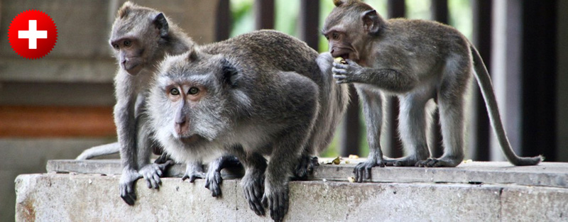 Opice sicer ne najdemo v Kuti, jih je pa veliko po otoku.