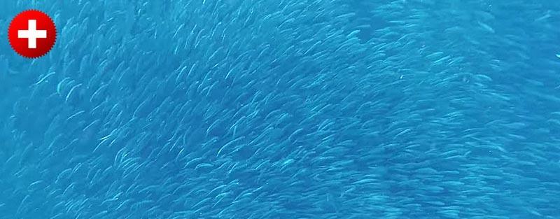 Jata sardin, ki jo lahko vidite pri snorklanju v mestu Moalboal (Filipini)