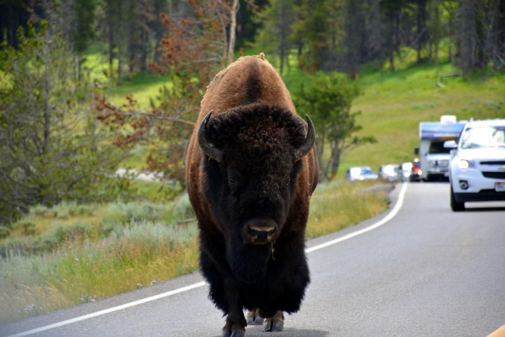 Še en bizon