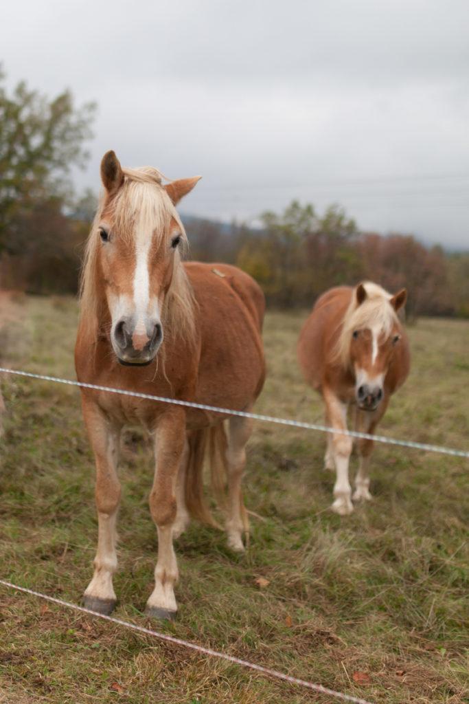 Zoe, Slovenija, konjčki