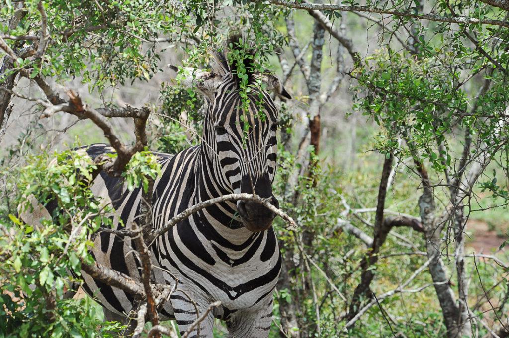 Hluhluwe-iMfolozi, Južna Afrika